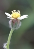 Fleur Tridax procumbens