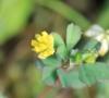 Trifolium dubium Sibth