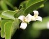 Triphasia trifolia (Burm. f.) P. Wilson