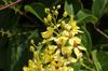 Fleurs : Tristellateia australasiae. Etoile d'Australie