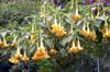 Trompette des anges Brugmansia suaveolens.