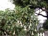 Trompette des anges Brugmansia suaveolens