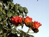 Fleurs Tulipier du Gabon Spathodea campanulata