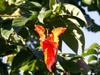 Tulipier du Gabon, Spathodea campanulata