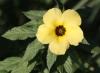 Turnera subulata Sm. Fleur jaune.