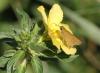 Turnera subulata. Fleur de La Réunion.