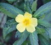 Turnera ulmifolia L