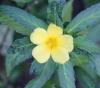 Turnera ulmifolia L