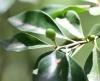 Turraea thouarsiana (Baill.) Cavaco et Keraudren Bois de quivi