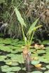 Typhonodorum lindleyanum Schott.