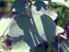 Urena lobata L. Feuille.