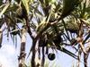 Vacoa : fruits le Pimpin