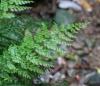 Vandenboschia gigantea (Bory ex Willd.) Ebihara et Dubuisson