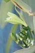 Vanilla planifolia Jacks.