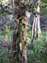 Vanille Vanilla planifolia Orchidée