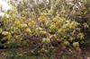 Vangueria madagascariensis J.F. Gmel