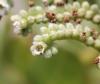 Heliotropium foertherianum Diane et Hilger