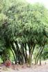 Bambou ventre de bouddha. Bambusa ventricosa