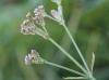 Verbena bonariensis L