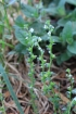 Veronica serpyllifolia L. subsp. humifusa (Dicks.) Syme.