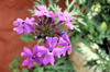 Verbena officinalis L