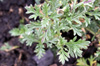 Verveine - Verbena officinalis