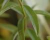 Feuilles Verveine citronnelle, Aloysia citriodora
