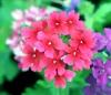 Verveine hybride. Verveine des jardins. Verveine fleur.