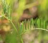 Vicia hirsuta (L.) Gray.