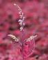 Plectranthus scutellarioides. Vieux garçon. Coleus.