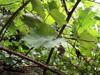 Rubus alceifolius. Vigne marronne ou raisin marron