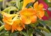 Rhododendrons vireya