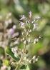 Vitex trifolia L. Inflorescence.