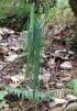 Vittaria isoetifolia Bory.