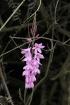 Watsonia sauvage.