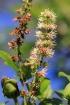Weinmannia mauritiana D. Don.