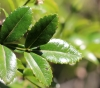 Weinmannia mauritiana D. Don