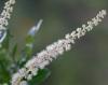 Weinmannia tinctoria Sm