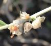 Withania somnifera (L.) Dunal. Fruit.