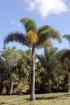 Wodyetia bifurcata. Palmier queue de renard.