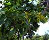 Ylang-ylang fleur Cananga odorata