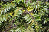 Fleur Ylang-Ylang Cananga odorata