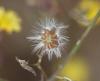 Youngia japonica. Akènes.