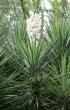 Yucca gloriosa L.