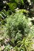 Zamal chanvre indien Cannabis sativa