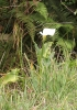Zantedeschia aethiopica (L.) Spreng.