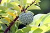 Annona squamosa L Zatte. Attier, Pommier cannelle