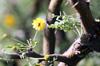 Fleur Acacia farnesiana