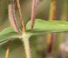 Zinnia peruviana (L.) L.