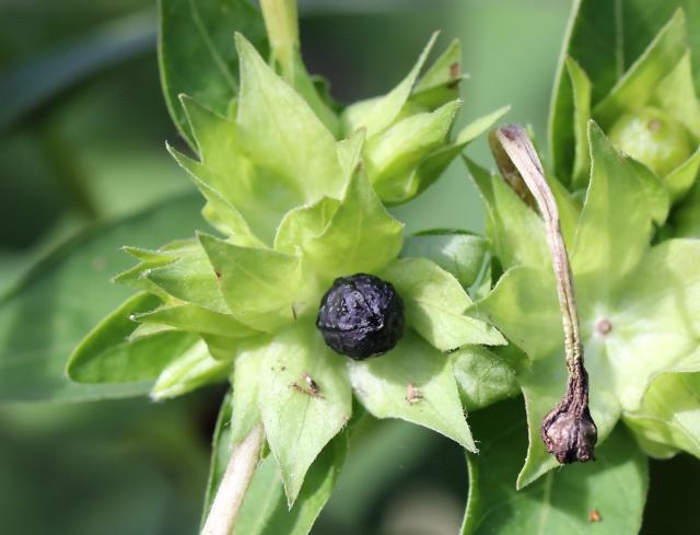 Mirabilis jalapa L. Fruit